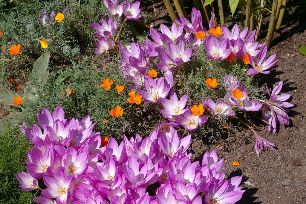 безвременники цветы фото