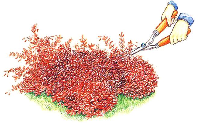 Стрижка барбариса