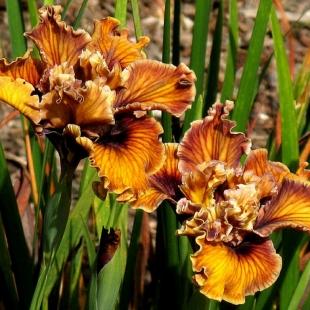 Оранжевый махровый ирис