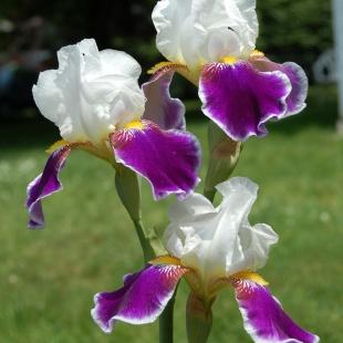 Бело-фиолетовый ирис бородатый