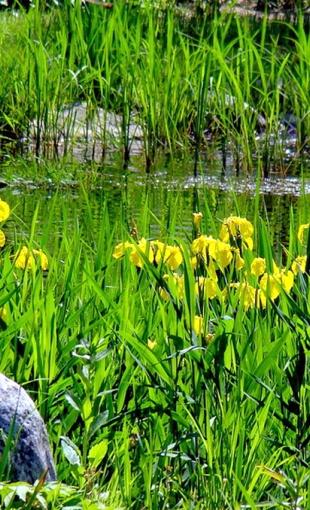 Желтые ирисы у пруда