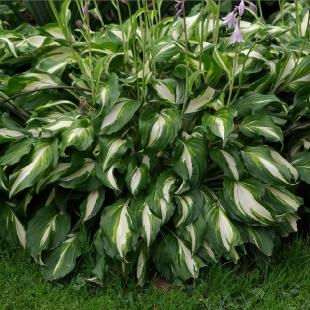 Хоста волнистая (Hosta undulata Mediavariegata)