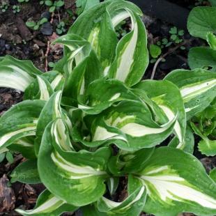 Хоста волнистая (Hosta undulata)