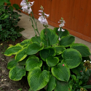 Хоста вздутая (Hosta ventricosa Frances Williams)