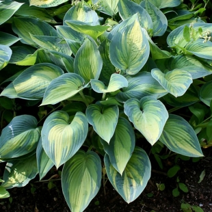 Хоста Зибольда (Hosta Sieboldiana Great Expectations)