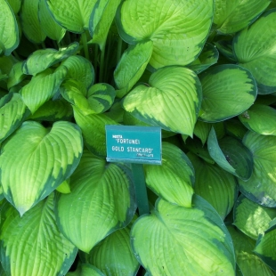 Хоста Форчуна (Hosta Fortunei 'Gold Standart')