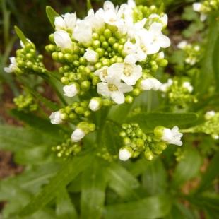 Цветок хрена