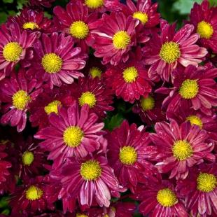 Дендрантема крупноцветковая